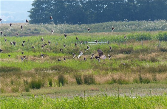 Marsh Harrier BMW 3 mobbed
