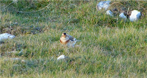 Snow Bunting 1 Gt Orme