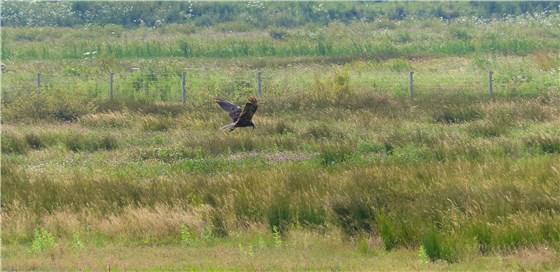 Marsh Harrier BMW 2