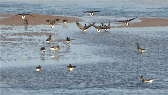 Brent Geese at Dawn