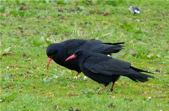 Chough South Stack 3