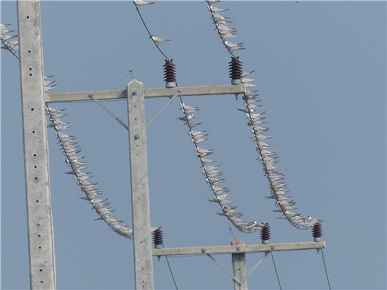 Whiskered Terns on wires Thai