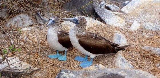 Blue footed Booby pair