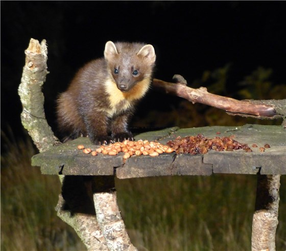 Pine Marten looking cute