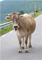 Cow road block