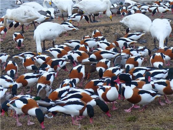 Shelduck mass closer