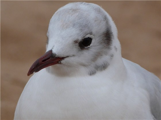 Close encounter with a Black headed Gull