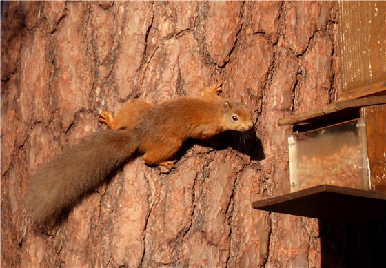 Red Squirrel Oct 3