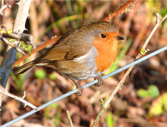 Robin at RSPB Conwy