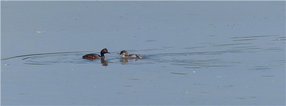 Black necked grebe 6 WE