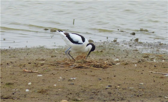Avocets two generations Minsmere