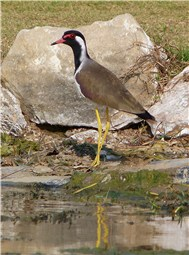 Red wattled Lapwing 1