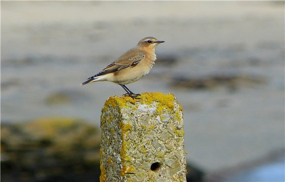 Wheatear Cemlyn Oct 2012