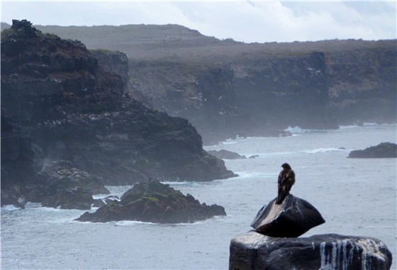 Galapagos Hawk on cliff