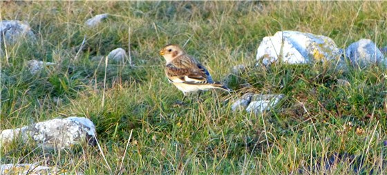 Snow Bunting 2 Gt Orme