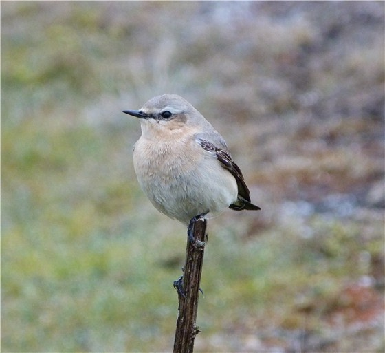 Wheatear on branch