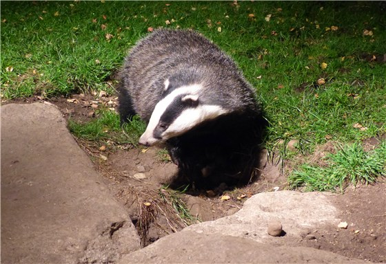 Badger Oct 4