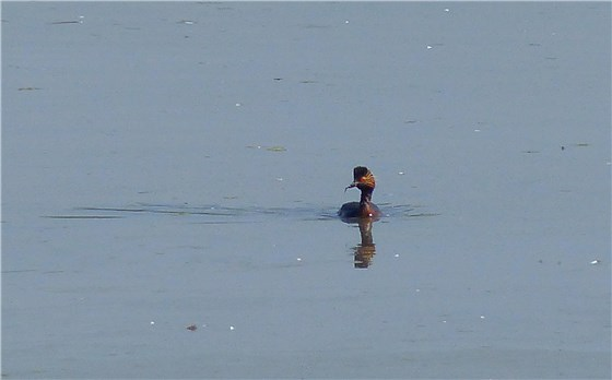 Black necked grebe 7 WE