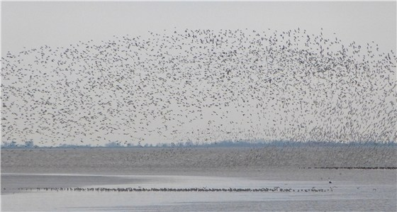 Snettisham dawn waders 3