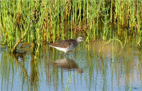 Wood Sandpiper pool