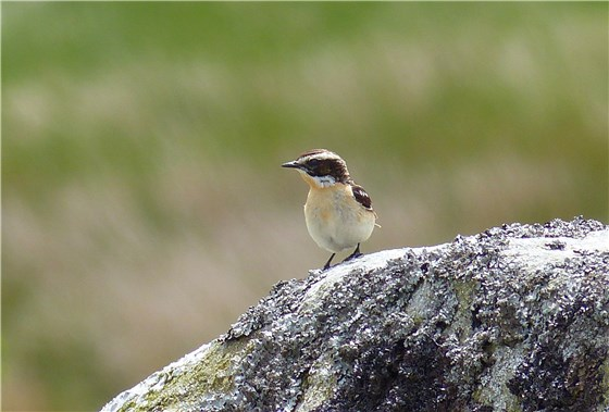 Whinchat  Conwy 1