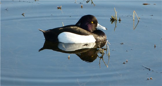 Tufted Duck Gwent