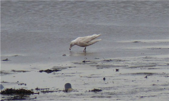 Glaucous Gull Ang 3
