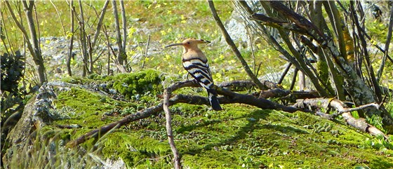 Hoopoe in bush trim