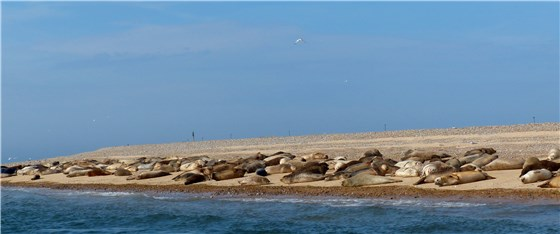Seals in line Blakeney 2014