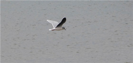 Little Gull Black Rock 1