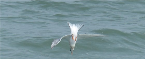 Arctic Tern perfect dive