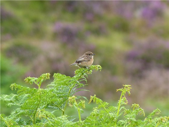 Stonechat and heather