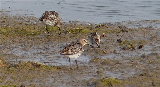 Little Stint with Dunlin