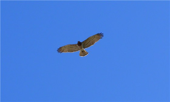 Short toed Eagle Spain
