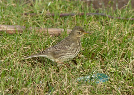 Rock Pipit side view