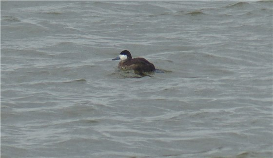 Ruddy Duck Welney 1