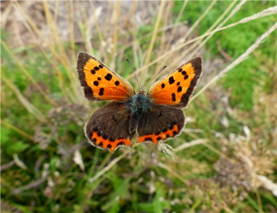 Small Copper Butterfly Aug