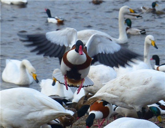Shelduck drops in