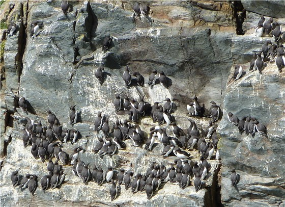 Guillemots South Stack