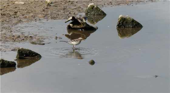 Citrine Wagtail Conwy 2