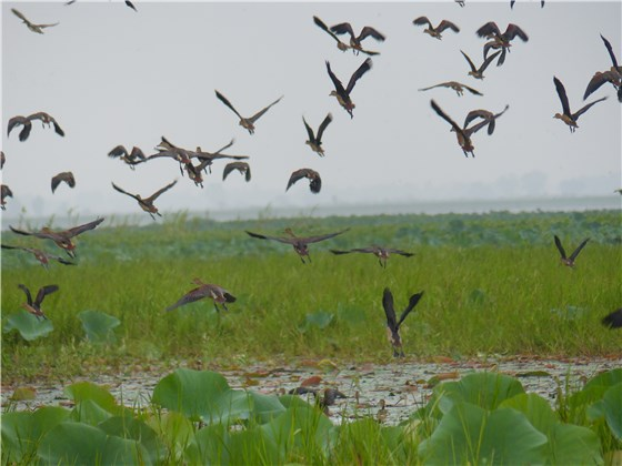 Lesser whistling Duck fly Thai 1