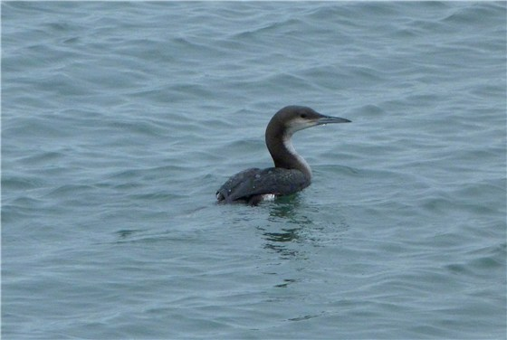 Black throated Diver 2