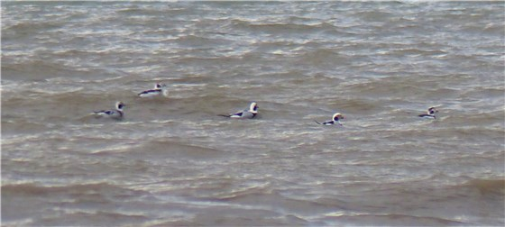 Long tailed Duck x 5