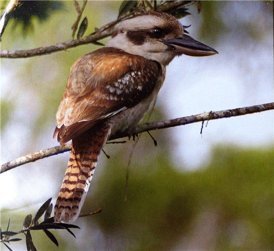 Wildlife of Oz kookaburra