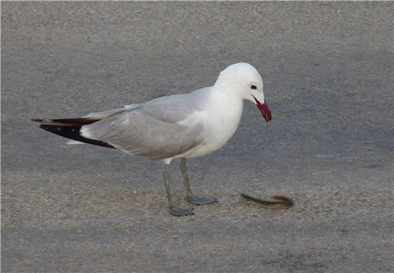 Audouins Gull with eel 1