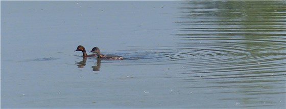 Black necked grebe 5 WE