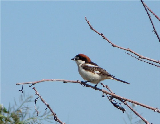 Woodchat Shrike plains Spain