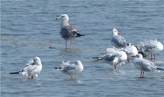 Heuglins and brown headed gulls