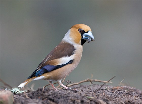 Hawfinch Roy de Hass