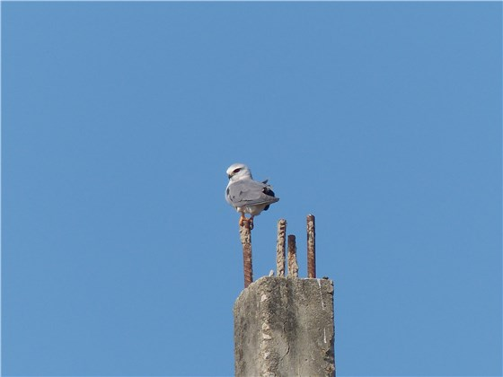 Black winged Kite Thai 1